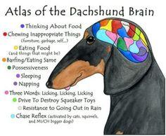 the Daschund brain, if you have ever had a little carpet shark enough said...  tooooo funny.
