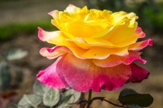 Yellow Rose Wallpapers for Friendship Day