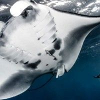 Manta rays in Raja Ampat. Worth more alive than dead,but slowly dying out.