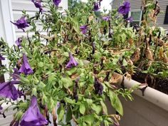 4 Reasons Why Your Petunias Are Wilting and Dying - The Practical Planter Petunia Care, Petunia Plant, Petunia Flower, Petunia Tattoo, Trailing Petunias, Purple Petunias, Happy Tree Friends, Petunia Hanging Baskets, Flowers