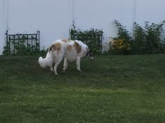 A hairy greyhound!!  ❤ =^..^= ❤  It's a Borzoi.