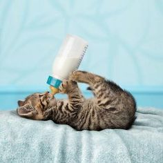 #cute #awesome #cat drinking from a bottle