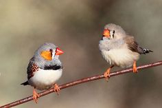Zebra finches program their offspring to prepare for global warming by singing…