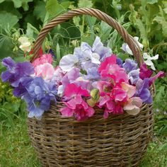Sweet Pea 'Sweet Dreams' - Hardy Annual Seeds - Thompson & Morgan