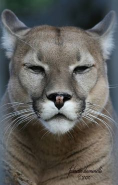 The Puma concolor is known by a variety of common names through its vast range including puma, mountain lion and cougar. Big Cats, Cool Cats, Cats And Kittens, Nature Animals, Animals And Pets, Cute Animals, Beautiful Cats, Animals Beautiful, Big And Beautiful