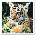 World Wildlife Fund: Save The Tigers