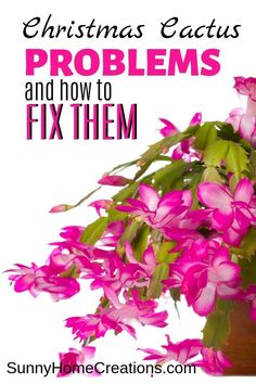 Christmas Cactus Problems and How to Fix Them. If you are growing this beautiful house plant and are having problems such as wilting, leaves turning red or pink, or the plant not blooming, this is a must read for you. It includes tips and advice on the best ways to fix problems when growing and caring for your Christmas Cactus. #christmascactus #christmascactusproblems #christmascactusplants