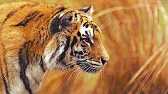 bengal tiger wallpaper animals