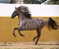 This Stallion is a rarity. Sorraias come originally from Portugal, and live there still wild part.