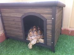 Morty the Sulcata Tortoise investigating his new Boomer & George Log Cabin Dog House Tortoise House, Tortoise Habitat, Tortoise Care, Turtle Habitat, Outdoor Shelters, Outdoor Dog, Tortoise Enclosure, Sulcata Tortoise, Russian Tortoise