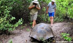 Galápagos Giant Tortoise on Isabela's Urbina Bay! http://www.huffingtonpost.com/the-gypsynesters/galapagos_b_1910593.html