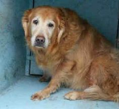 Check out Riley James 671's profile on AllPaws.com and help him get adopted! Riley James 671 is an adorable Dog that needs a new home. https://www.allpaws.com/adopt-a-dog/golden-retriever/3931974?social_ref=pinterest