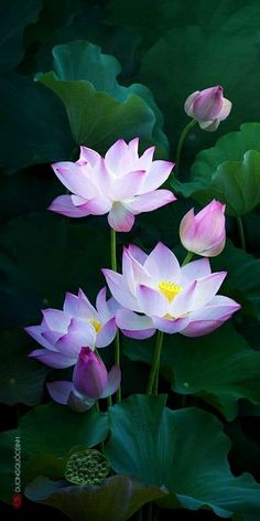 New tattoo lotus pink water lilies Ideas Flowers Nature, Exotic Flowers, Amazing Flowers, Beautiful Flowers, Water Flowers, Tropical Flowers, Pink Flowers, Lotus Flower Pictures, Photos Of Flowers