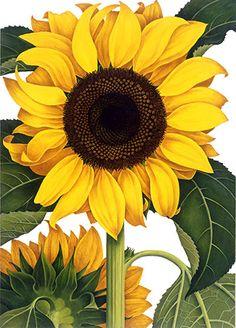 Sunflower by Charlotte Knox, Illustrator : Heflinreps Illustration Agency Illustration Agency, Botanical Illustration, Sunflower Illustration, Sunflower Garden, Sunflower Art, Sunflower Paintings, Happy Flowers, Beautiful Flowers, Sun Flowers