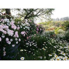 【sakano_garden】さんのInstagramをピンしています。 《自分が撮ったThe Natural Gardens of Sakanoのガーデンの写真の中で、これが一番のお気に入り、マックスです。この写真を越えられる風景、なかなか撮れません。  撮影日:2013/05/24  撮影場所:#坂野ガーデン #TheNaturalGardensofSakano #茨城県 #常総市 #春のローズガーデン坂野 #ナチュラルガーデン #オープンガーデン #イングリッシュガーデン #ローズガーデン #バラ園  植物・品種など:#バラ #薔薇 #シャスターデージー #Rose #daisy #春の花 #初夏の花  #自然 #風景 #景色 #森林 #はなまっぷ #花のある暮らし  #植物のある暮らし #instagardeners #instagarden #gardeningisfun #flowersofinstagram #gardenlove #instagardenlovers》
