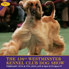 Westminster Dog Show- Good luck to Partito and Elton!  Bring home some ribbons!!!