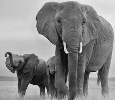 Matriarch and calves All About Elephants, Save The Elephants, Elephant Family, Elephant Love, Animals And Pets, Baby Animals, Cute Animals, Cute Creatures, Beautiful Creatures