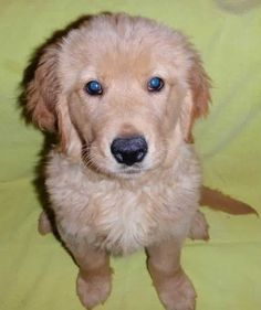 golden retriever puppies for sale in indiana | Cute Puppies
