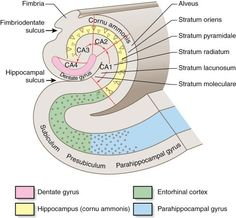 Znalezione obrazy dla zapytania entorhinal cortex