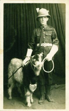 A rather poor specimen of a Regimental Goat. The Goat Major is wearing a Sun Helmet so the photo is likely to have been taken overseas. The Goat looks like a local purchase! Interesting to see this goat has no head plate but does have a breast plate like the its Battalion Goats.