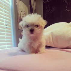 My sweet baby. Maltese puppy