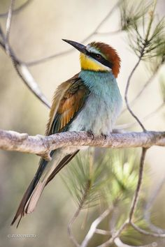 Bee-Eater in the Shade of a Pine