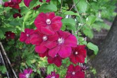 Clematis X Rouge Cardinal:  Deer Resistant Rouge Cardinal Clematis has glowing crimson-red flowers with blunt tipped recurving sepals and contrasting cream-colored anthers. Blooms from July thru October.
