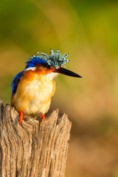Malagasy kingfisher or Madagascar kingfisher (Corythornis vintsioides)