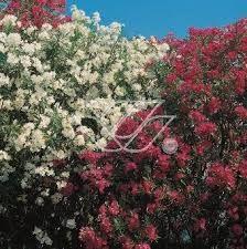 Znalezione obrazy dla zapytania czerwony oleander
