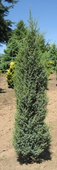 Dwarf Cedar Tree Varieties ~ Images about juniper cedar on pinterest