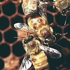 Here's a clear picture of what the Varroa destructor mites look like when attached to the back of a honeybee.