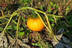 フォト - Google+ Pumpkin, Autumn, Vegetables, Google, Food, Gourd, Meal, Fall, Pumpkins