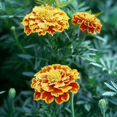 French Double Marigold - tagetes patula