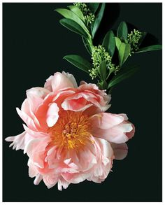 stunninghubs: Collection Of Flower Pictures Peony Flower, Dahlia, Flower Art, Bouquet Flowers, Fresh Flowers, Beautiful Flowers, Dame Nature, Flower Pictures, Pink Peonies
