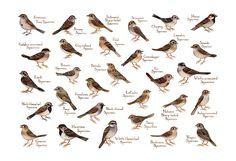 Sparrows Field Guide Art Print / Birds of North America / Watercolor Painting / Wall Art / Nature Prints / Bird Poster Nature Prints, Art Prints, Art Nature, Sparrow Art, Bird Identification, Bird Poster, Backyard Birds, Field Guide, Wild Birds