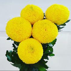 Chrysanthemums - T & G Flower Growers Yellow Flower Arrangements, Yellow Flowers, Crysanthemum, No Rain No Flowers, Chrysanthemum Flower, Beautiful Rose Flowers, Photosynthesis, Outdoor Art, Animal Tattoos