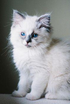 ragdoll cat | Tumblr
