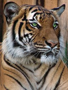 Malayan Tiger female, Indra