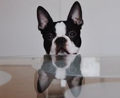 Boston Terrior, Boston Terrier Pug, Baby Dogs, Doggies, Anime Animals, Cute Animals, Dog Love, Puppy Love, Indoor Pets