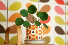 Colour Pop with Pilea Peperomioides