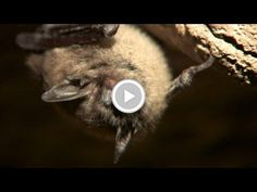 Watching for White Nose, a Bat Disease - Texas Parks and Wildlife [Official] Texas Parks, State Parks, January 1, Wildlife, Outdoors, Exterior, Off Grid, Outdoor, National Parks
