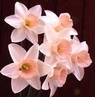 Pink Daffodils — Narcissus Passionale aka Pink Daffodils <3