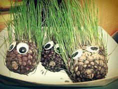 1000 images about pine cone on pinterest chia pet pine