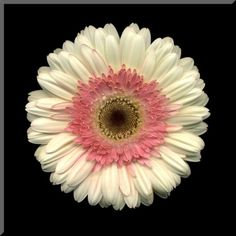 8x8 White and Pink Gerbera Daisy Wall Plaque by jonathanshuff, $35.00