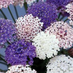 Didiscus Seeds - Madonna - All Flower Seeds - Flower Seeds - Gardening - Suttons Seeds and Plants Lavender Blue, Lavender Flowers, Lace Flowers, Cut Flowers, Blue Lace, Wedding Flowers, Spring Flowers, Purple Flowers, White Lace