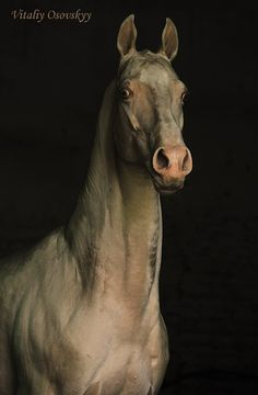 Akhal-teke horse, bred for distance riding in the desert. Akhal Teke Horses, Appaloosa, Especie Animal, Mundo Animal, Most Beautiful Horses, All The Pretty Horses, Zebras, Beautiful Creatures, Animals Beautiful