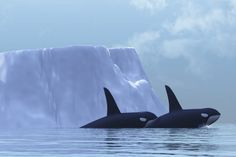 Orcinus orca | Svalbard, Norway