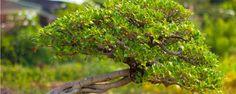Bonsai – Saiba mais Sobre as Miniaturas de Árvores - O Bonsai é uma técnica de jardinagem que cultiva árvores em vasos, popularmente conhecida pela sua intensa ligação com a cultura japonesa. No entanto estudiosos afirmam que os chineses já aplicavam uma técnica muito semelhante a esta, chamada Penjing, por volta do ano 200 d.C., anterior aos prime... - http://www.ecoadubo.blog.br/ecoblog/2014/10/15/bonsai-saiba-mais-sobre-as-miniaturas-de-arvores/