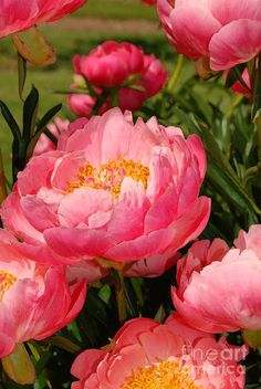 Pink Peonies were Nana's favorite.  Mom always kept these close to her heart.