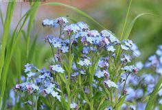 sinisävyiset kasvit - Google-haku